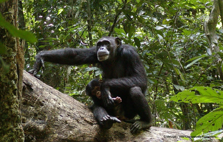 Wild Chimpanzee Foundation